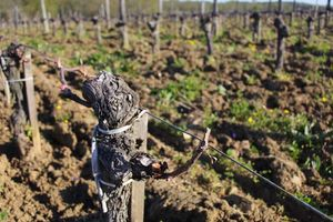 1planquettre_medoc_recovering_vine_hail
