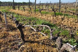 1hail_recovering_conventional_vine