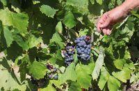 1damien_bureau_pineau_daunis_grapes