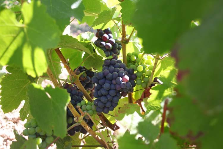 1damien_bureau_pineau_daunis_grapes2