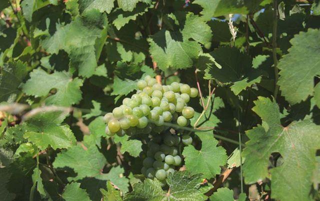 1damien_bureau_mille-sabords_chenin_grapes