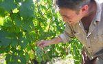 1damien_bureau_mille-sabords_chenin_grapes2