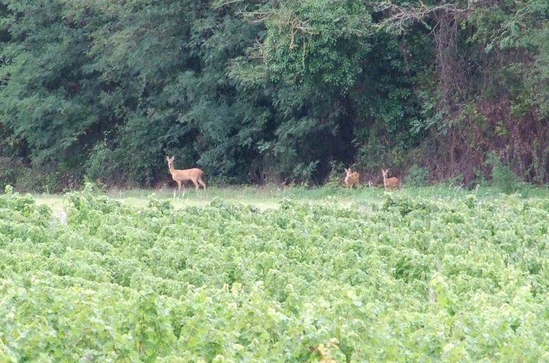 1julien_pineau_roe_deers_out_of_woods