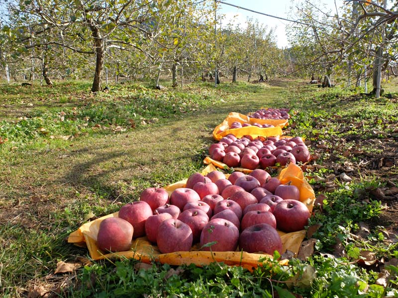1beau_paysage_eishi_apples_ready_to_be_shipped