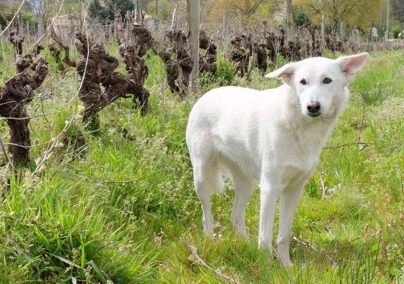 1rousset-peyraguey_dog_vineyard