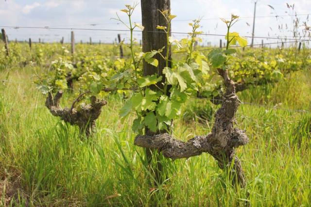1nicolas_renard_vines_high_grass