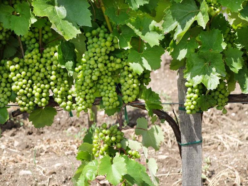 1alkonyi_laszlo_furmint_grapes