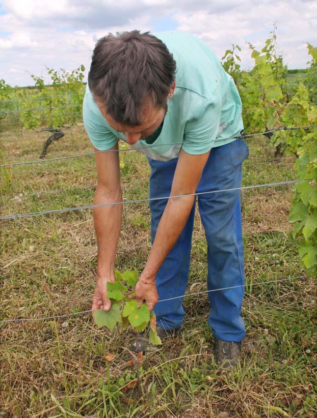 1julien_prevel_vigne1_comparing_leaves_rootstock