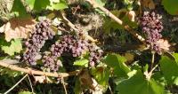 1adrien_de_mello_grilled_grapes