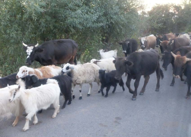 1areni_back_to_yerevan_farm_animals