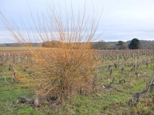 1sylvain_leest_wicker_bush_tree