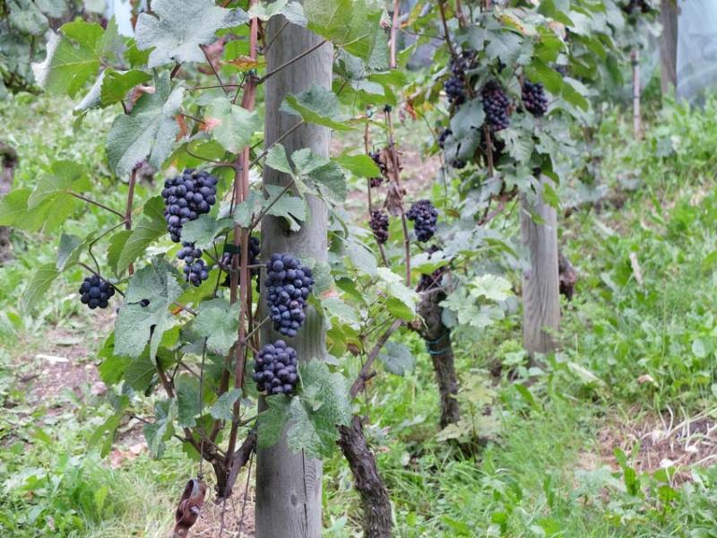1paris_belleville_harvest_hanging_bunches