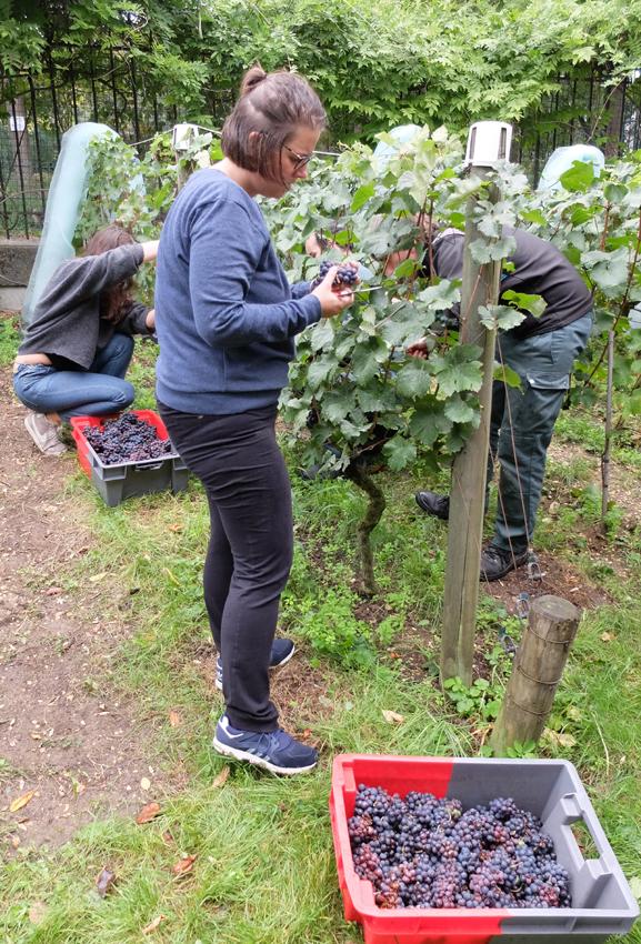 1paris_belleville_harvest_checking_grapes