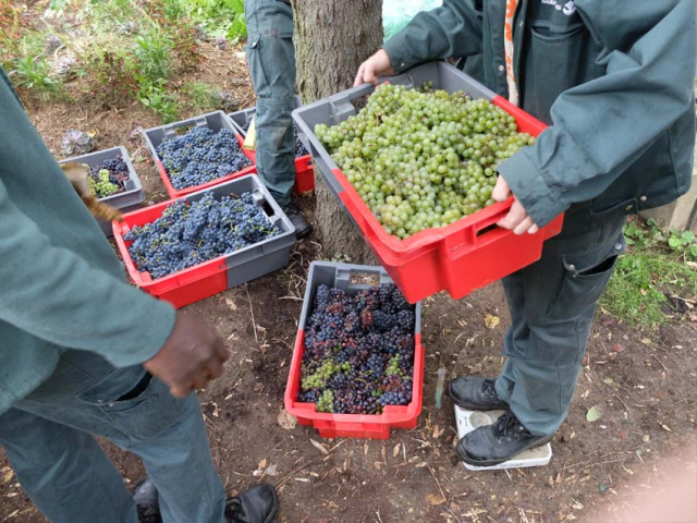 1paris_belleville_harvest_weighing_grape_load