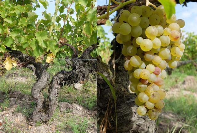 1ludovic_chanson_old_vine_chenin_grape