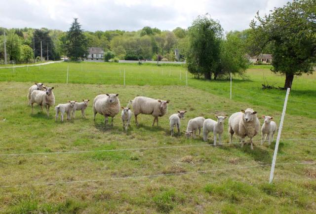 1julien_pineau_juliette_sheep