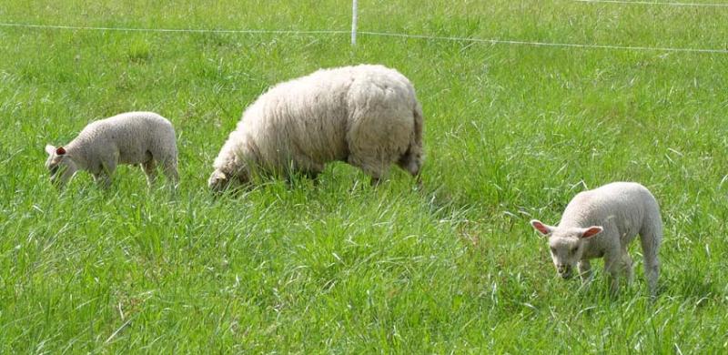 1julien_pineau_juliette_sheep3