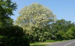 1acacia_tree_blooming