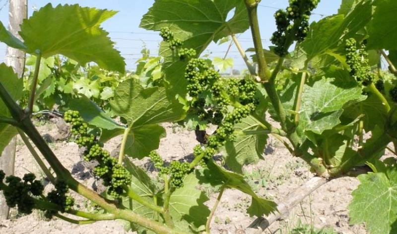 1vincent_bergeron_moskova_grapes