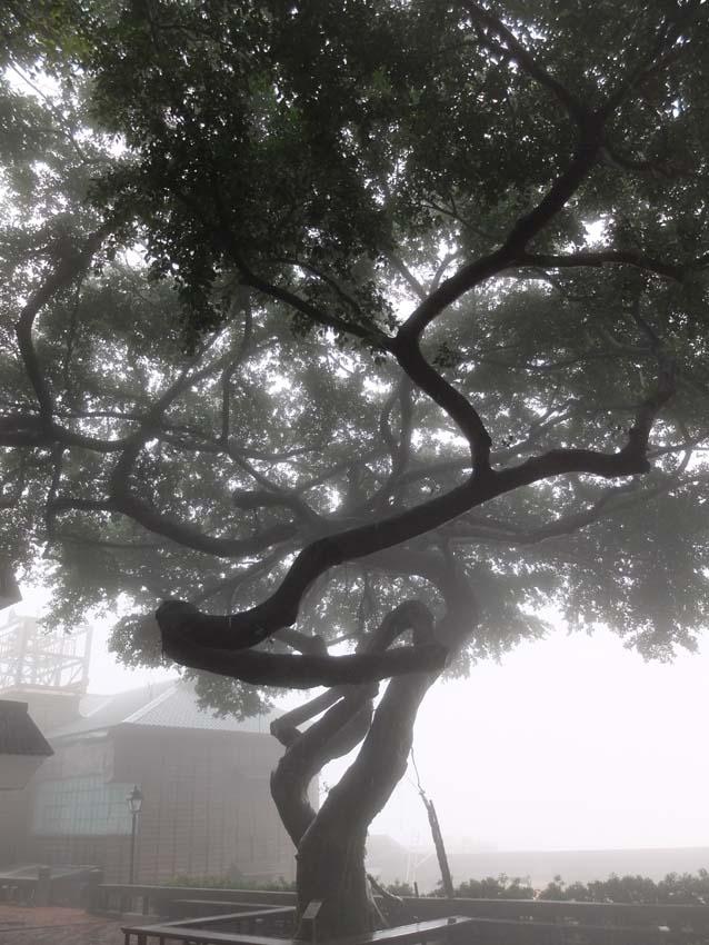 1taiwan_tree_mist