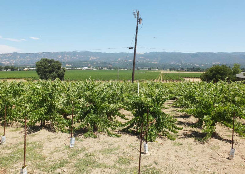 1martha_stoumen_ukiah_vineyard