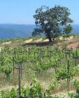 1renaissance2006_vineyard
