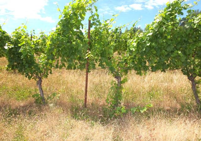 1hiyu_wine_vines