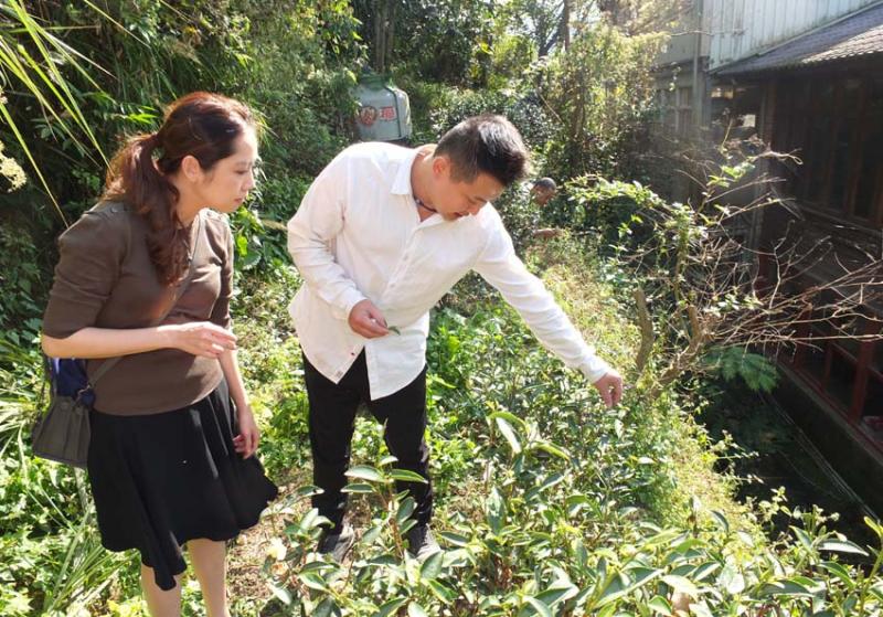 1tea_farm_Gu_Jing-Ran_tea_plants