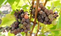 1babass_botrytis_grapes_chenin