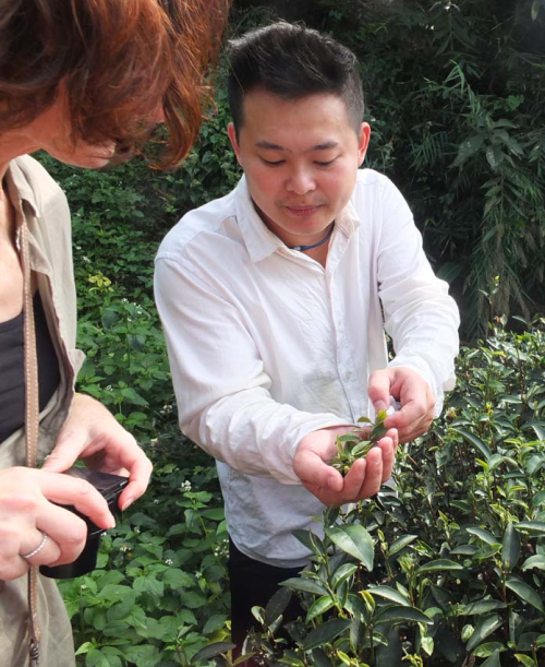 1tea_farm_picked_leaves