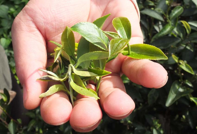 1tea_farm_young_leaves