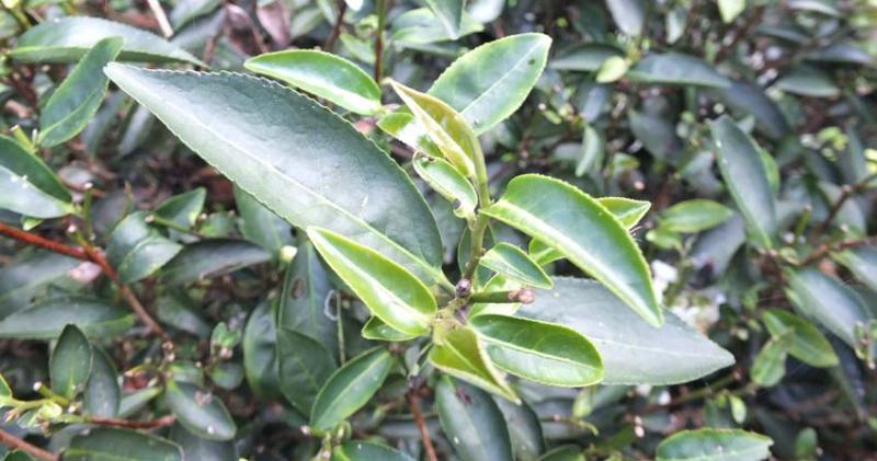 1tea_farm_tea_leaves