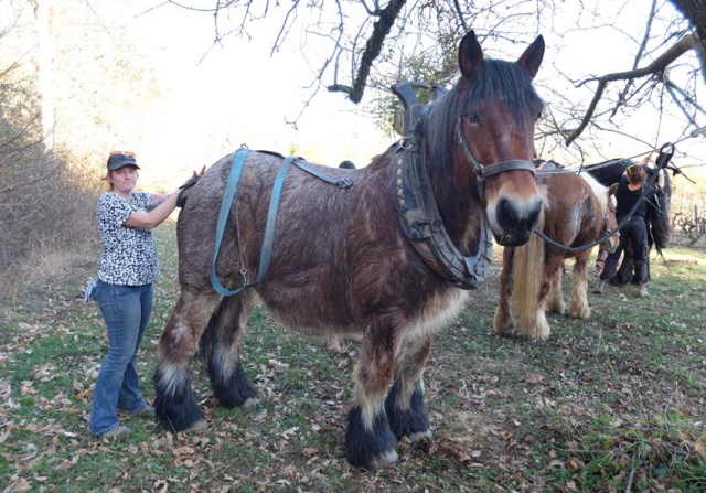 1draft_horse_anne-sophie
