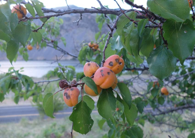 1apricots_in_the_wild_id