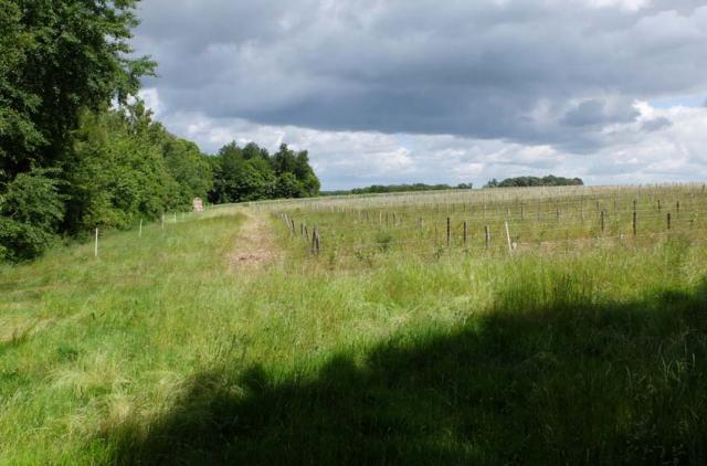 1bois_frelon_vineyard_along_woods