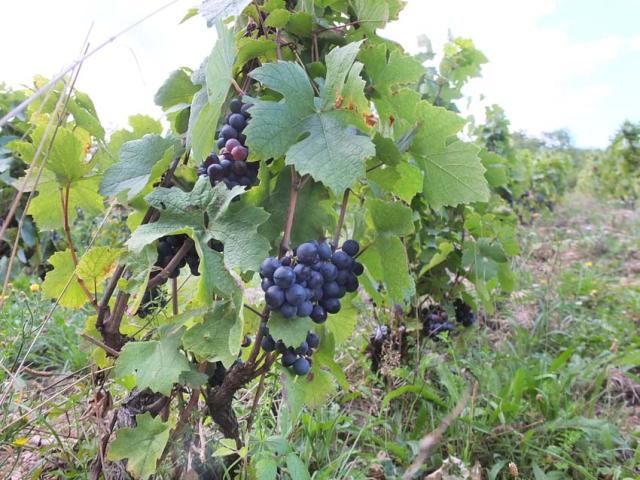 1philippe_jambon_roche_noire_grapes