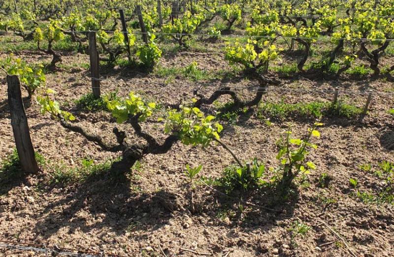 1clos_meslerie_old_vines