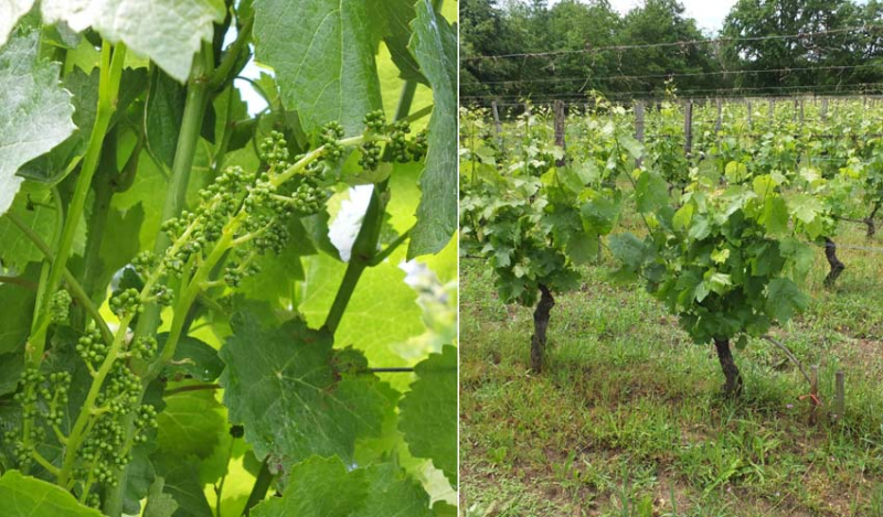 1courtois_syrah_gascon_overgrafted