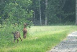 1courtois_julien_road_deers