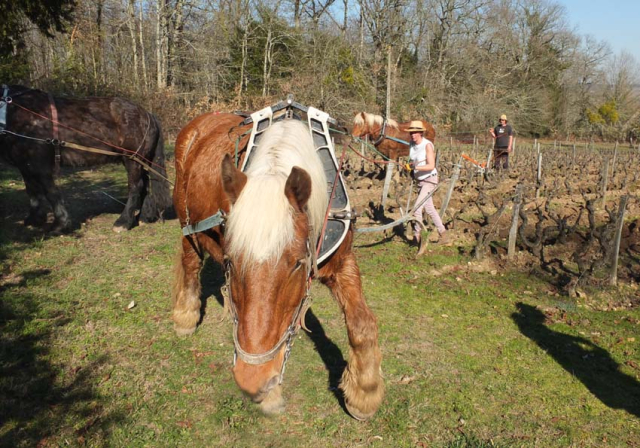 1draft_horse_turning_around