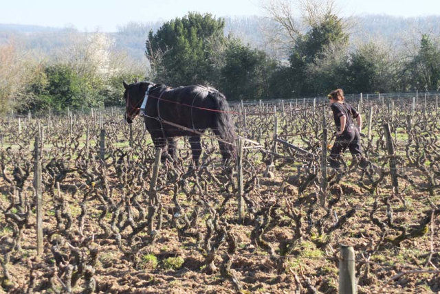 1draft_horse_tessy_old_vines