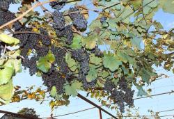 1enek_peterson_aladasturi_grapes3