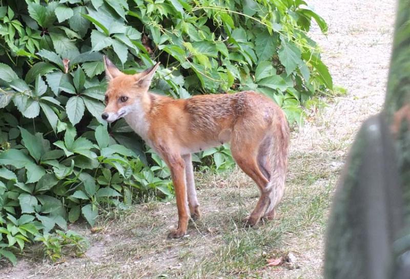 1istvan_bencze_tame_fox