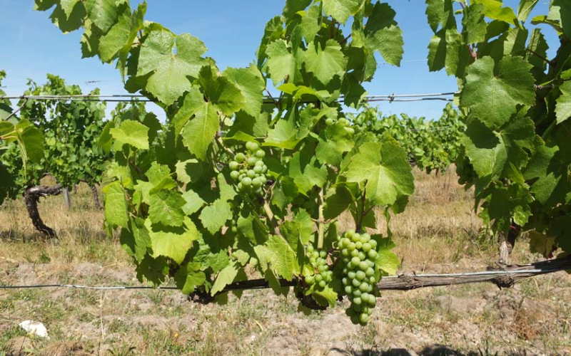 1choquet_gamay_grapes