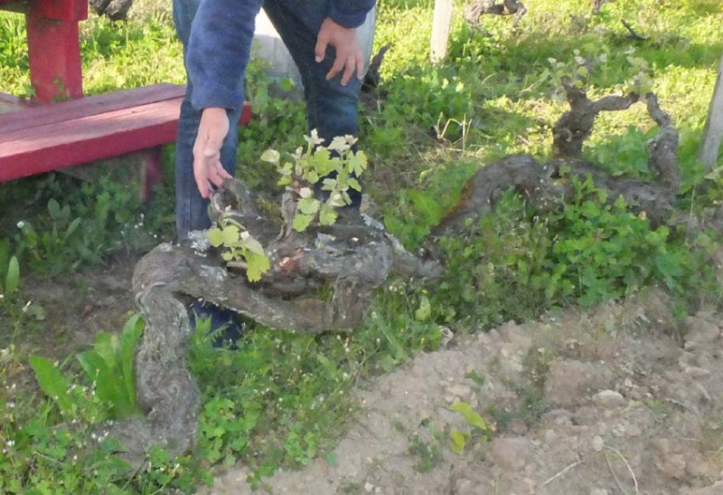1table_rouge_125year_old_vine