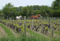 1philippe_tessier_vineyard_horses