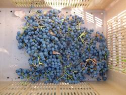 1harvest_junko_arai_cot_box_grapes