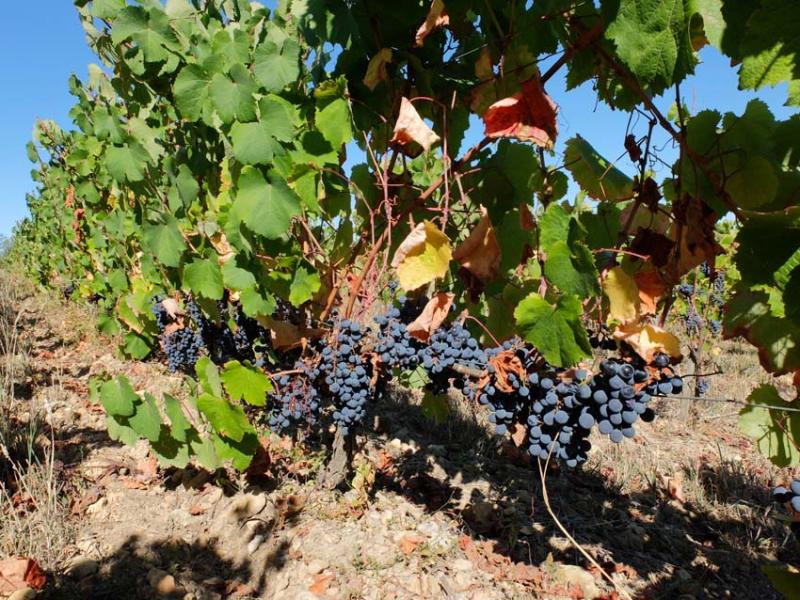1harvest_junko_arai_cot_grapes