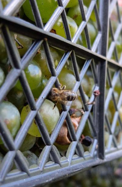 1enek_peterson_bee_on_grapes