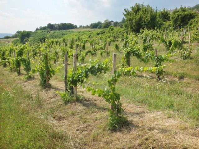 1istvan_bencze_vineyard2_echalas2